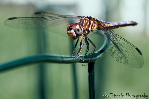 macro ma dragonfly massachusetts insects bugs ayer