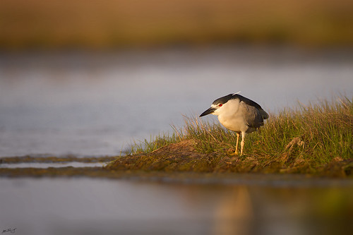 heron nature birds canon wildlife 7d blackcrownednightheron wildbirds blackcrowned 600mm
