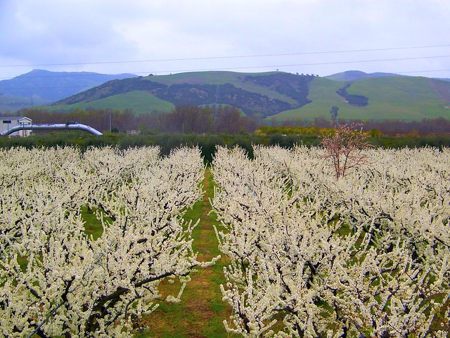 Valle dell'Agri - Frutteti in fiore