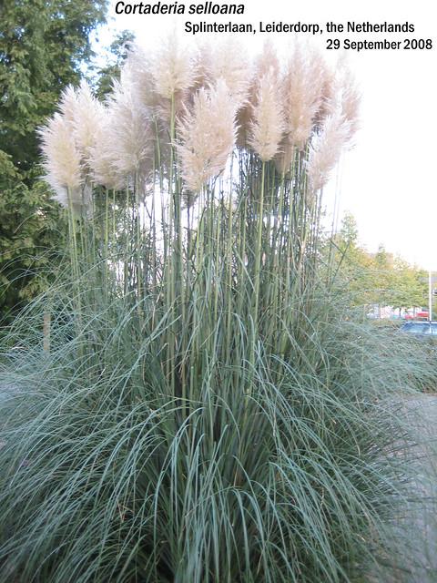 Cortaderia selloana (Pampas Grass) - Splinterln, Leiderdorp, NL 29 Sept 2008 09 Leo