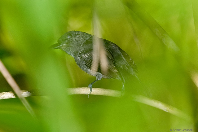 Thamnophilus aethiops - White-shouldered Antshrike