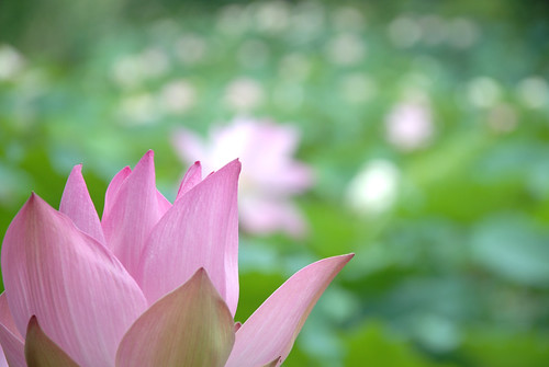 "Lotus flower | by ""KIUKO"""