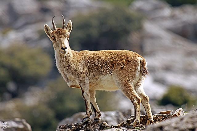 Cabra Pyrenaica Hispanica