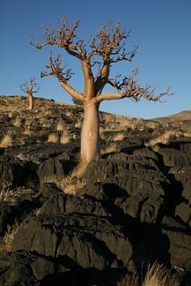 Mountain Moringa   by Namibnat