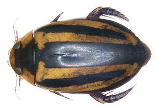 Hydaticus histrio  Clark, 1864