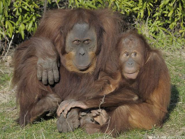 Sumatran orang utans, Padang & Budi