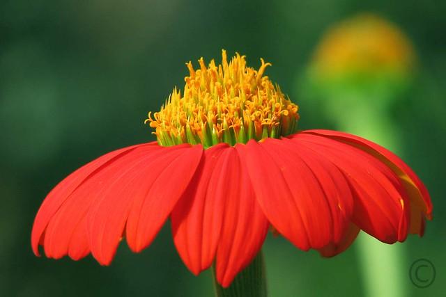 പൂവ് Flower   തോന്നയ്ക്കല് (എന്റെ ...