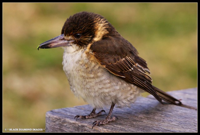 Cracticus torquatus - Grey Butcher Bird