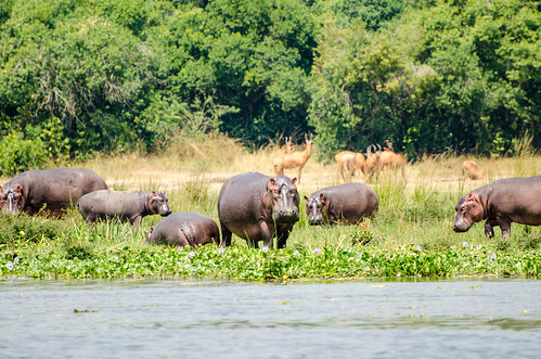 African Hippo | by jerang
