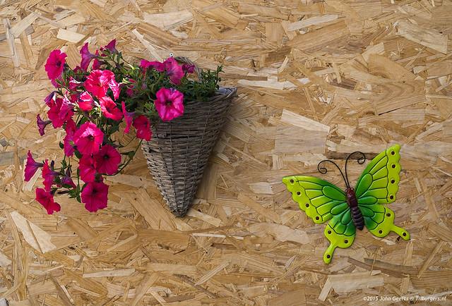 2015-06-27-Wall-Petunia-Butterfly-Boomtak