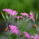 Dianthus sperbus.cv./ミーティア ローズピンク