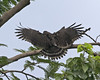 Philippine Serpent-eagle (Spilornis holospilus) by Lip Kee