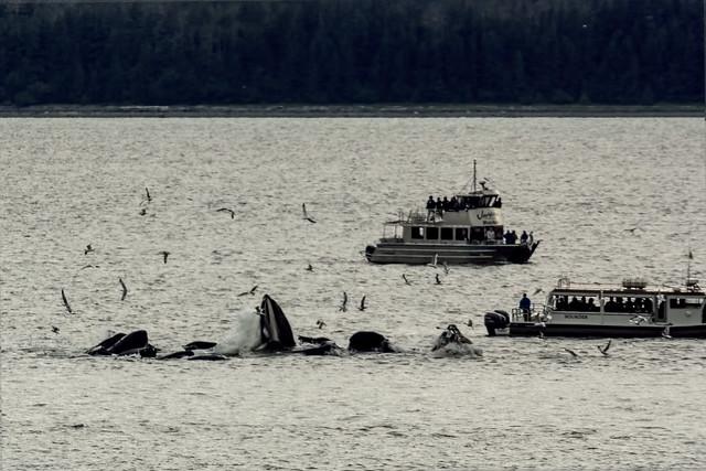 Humpback whales hunting. part 2 Prince Rupert Skagway