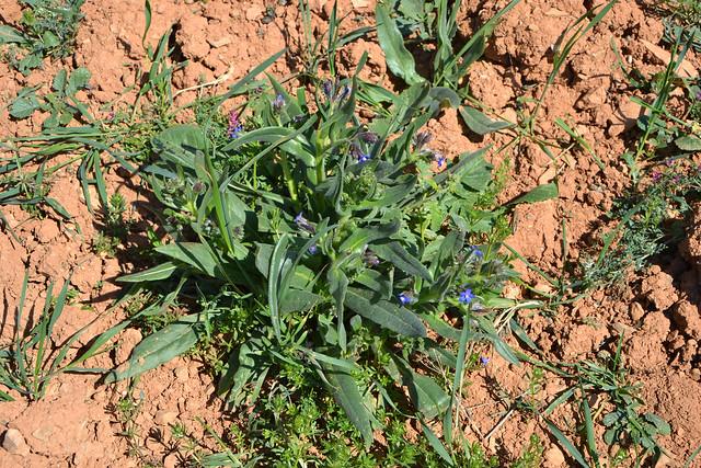 Anchusa italica - buglosse d'Italie 32482077045_81e499f7e9_z
