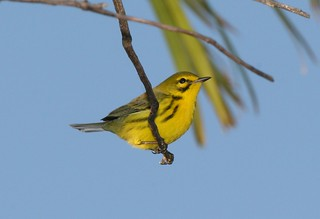 Prairie Warbler (Setophaga discolor) | by Dominic Sherony