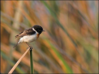 White-tailed Stonechat | by Ramit Singal