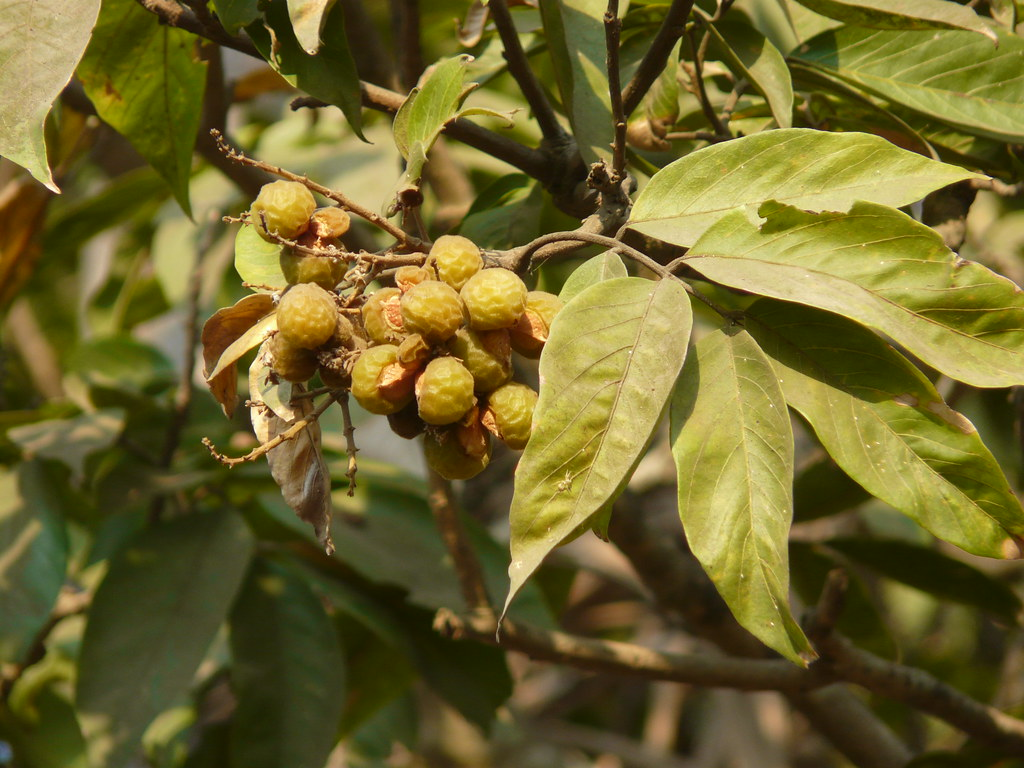 Image result for Sapindus tree