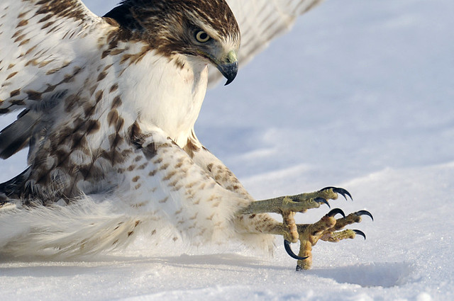 red-tailed hawk talons