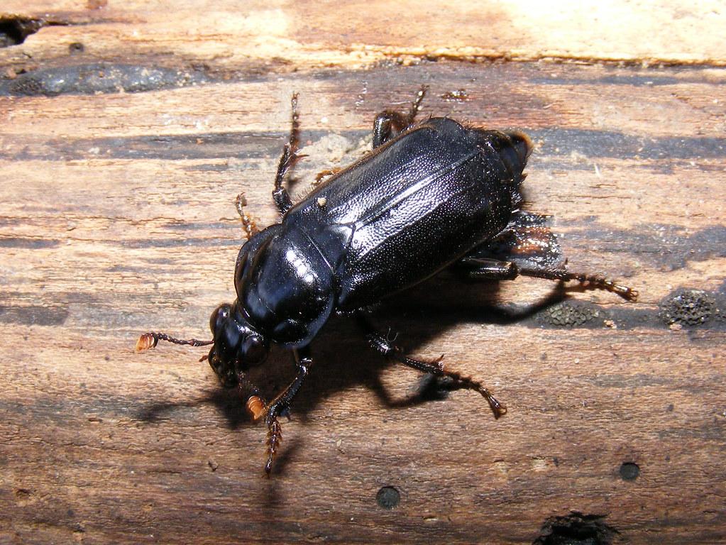 Black Carrion Beetle Nicrophorus Humator Female Size App Flickr