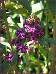 Callicarpa pedunculata -  'Velvet Leaf' fruits | by Tatters ✾