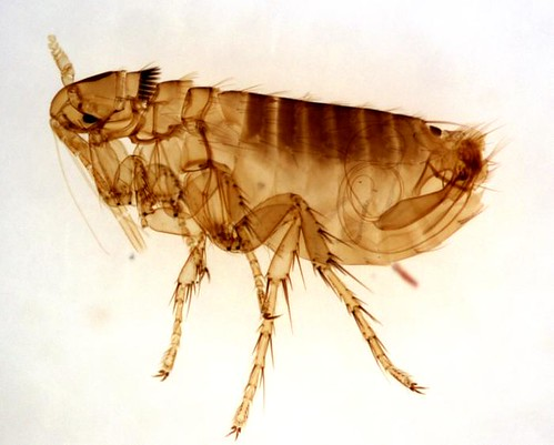 adult male Oropsylla Montana flea | by kat m research