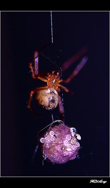 SpiderMaMa II