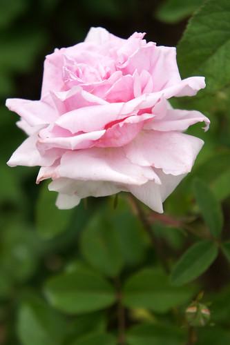 Rose The Mayflower バラ ザ メイフラワー | by T.Kiya