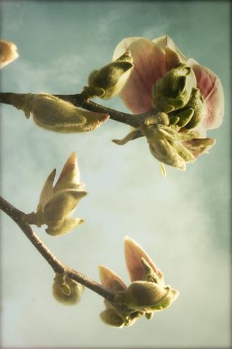 le tulipier - non, le magnolia....