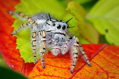 Adult Female Jumping Spider - (Phidippus mystaceus)   by Thomas Shahan