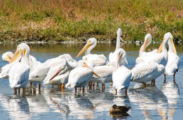 A Pack of Preening Pelicans .... and 1 duck