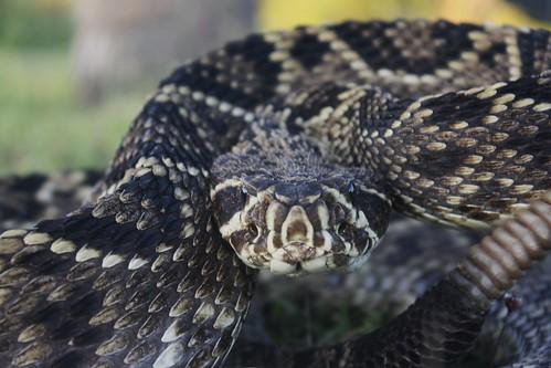 dunedin fl canondslr canonrebelxs easterndiamondbackrattlesnake crotalusadamanteus honeymoonislandstatepark honeymoonislandstateparkfl