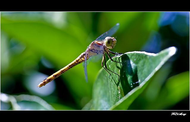 Libelula - Dragonfly