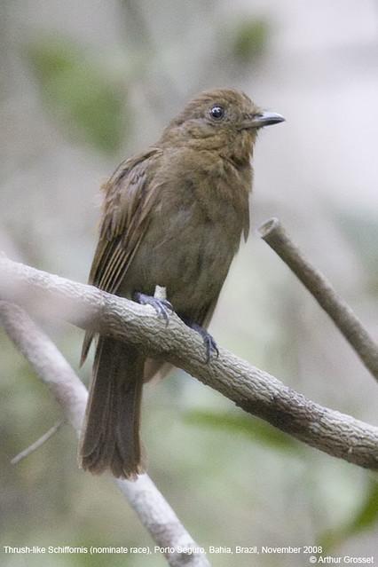 Schiffornis turdina - Thrush-like Schiffornis