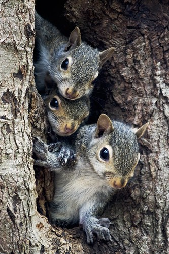 tree cute three nc squirrel squirrels adorable northcarolina familytree trio greatphotographers digitalcameraclub waxhawnc canecreekpark squirrelfamily ghholt thepinnaclehof kanchenjungachallengewinner newgoldenseal storybookwinner tphofweek10 storybookttwwinner