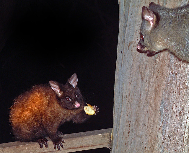 Mother and child possum