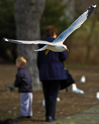 bird belair seagull maryland explore fowl ringbilledgull larusdelawarensis harfordcounty canonef70200mmf28lisusm bynumrunpark
