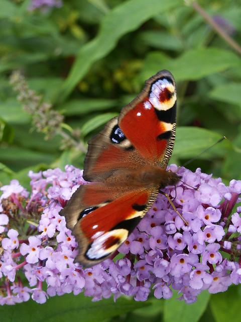 Ein Schmetterling weckt Nachtigallen, und die schöne Schläferin, flattre, holder Schmetterling, auf ihren Busen hin, sie regt sich, o sage schnell, ob ich vermessen wage die Hoffnung, daß Du meine  Wonne, sie lispelt, nein in Dresden 134