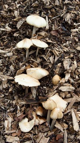 Wood mushroom