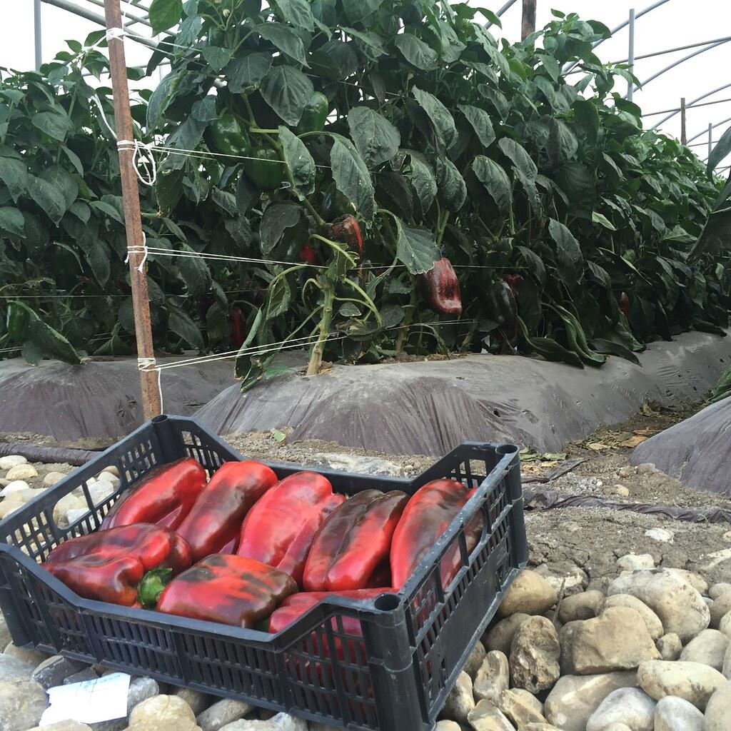 Orticoltura e Valore - prove in campo Peperone 2015 - 2097