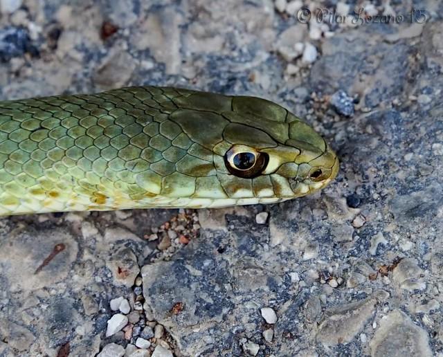 Reptil.