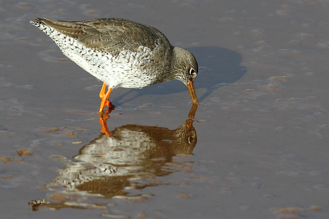 Redshank in the Mud