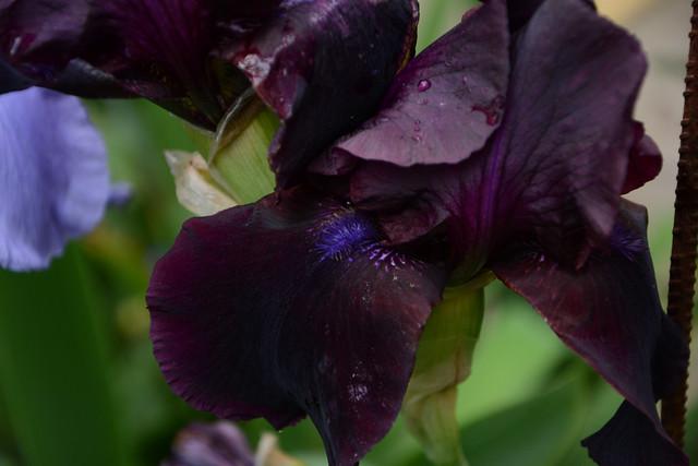 Iris bitone sombre bourgogne - Lilou [identification en cours] 32424442902_4f9836b5f9_z