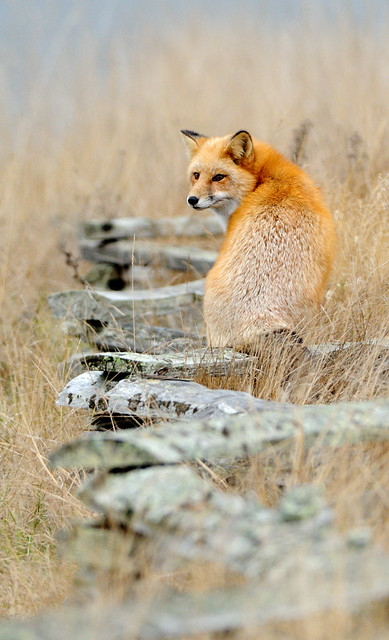 a well balanced fox