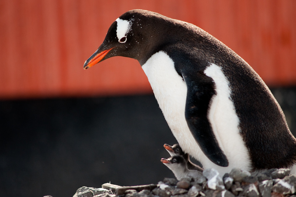 Gentoo Two