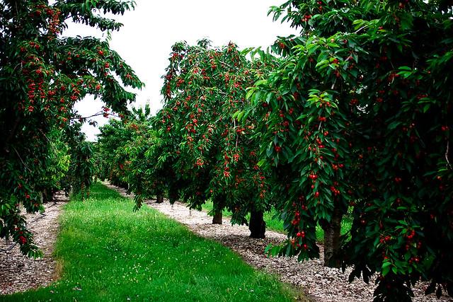 Cherry Ranch
