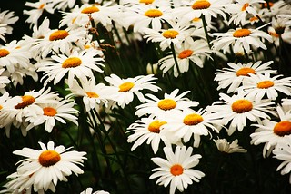 Daisies | by focusedcapture