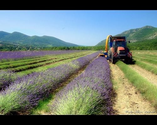 Lavande / lavender by Alain Cachat
