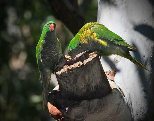 green birds sydney lorikeet australia crestwood baulkhamhills canonef100400mmf4556lisusm img9587mod scaleybrestedlorikeet pregamewinner