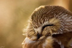Northern Saw-Whet Owl | by Matt Bango