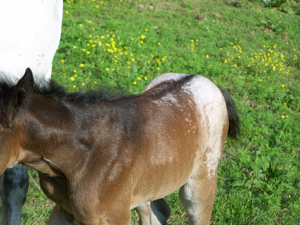 2011 Appaloosa foals for sale at Rocky Hollow Ranch, Mentone